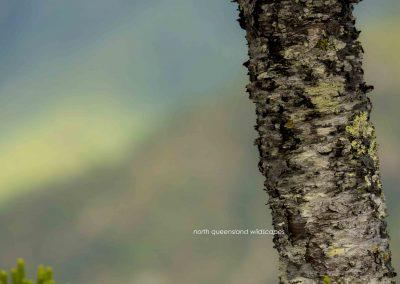 Hoop Pine Trunk
