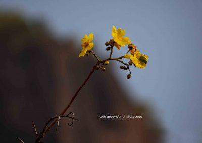 Flowers (11)Kapok
