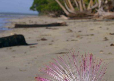 Flowers (17) Barringtonia
