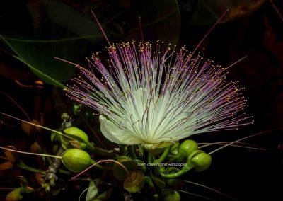 Flowers (18) Barringtonia