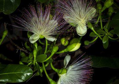 Flowers (19) Barringtonia