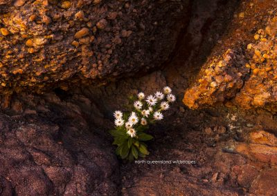 Flowers (2) Mountain Daisies