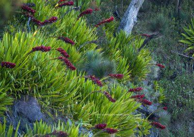 Flowers (5) Spear Lillies