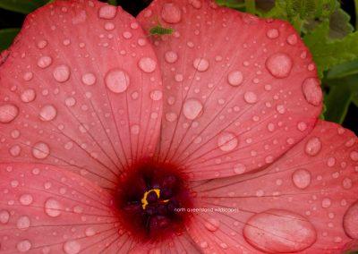 Flowers (8) Hibiscus