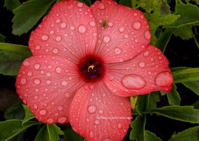 Flowers (9) Hibiscus