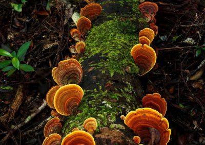 Funghi (11) Bracket Fungi Mt Spurgeon