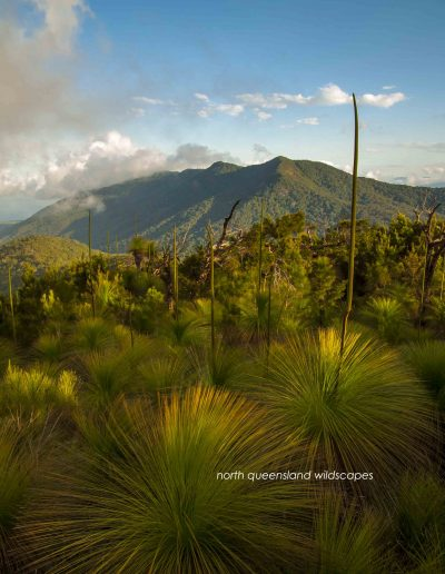 Grass Trees Mt Yarrabah 3