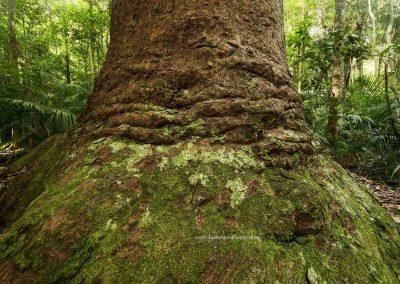 Kauri Pine 2