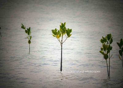 Mangroves (3)