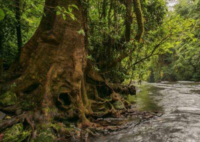 Old Tree Beside Stream 2