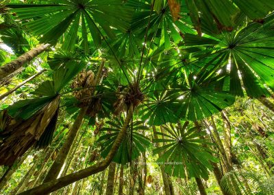Palms Fan Palm