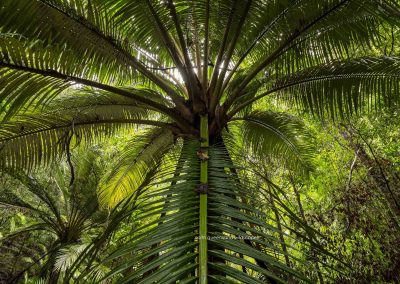 Palms Orania Palm