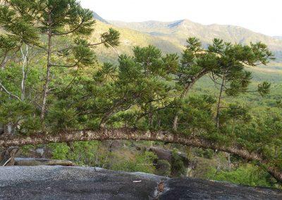 Pines (1) Hoop
