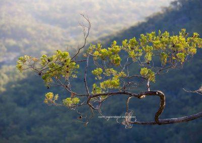 Pines (2) Cypress