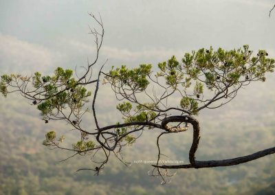 Pines (3) Cypress