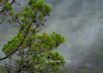Pines (4) Cypress