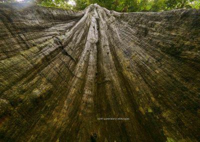Rainforest Giant Vitex