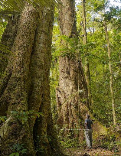 Rainforest Giants Dryododaphne Mt Lewis