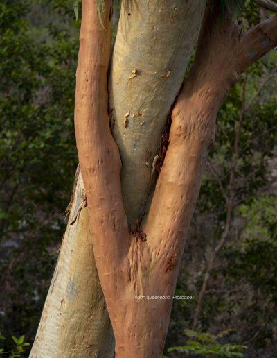 Trees (11) Eucalypt Pair