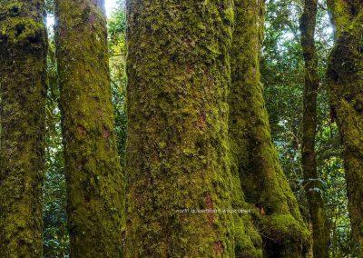 Trees (3) Nothafagus