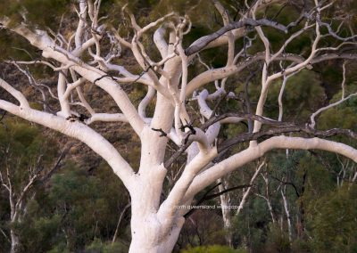 Trees (5) Ghost Gum