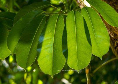 Umbrella Leaf 1