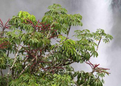 Umbrella Tree Wallaman Falls